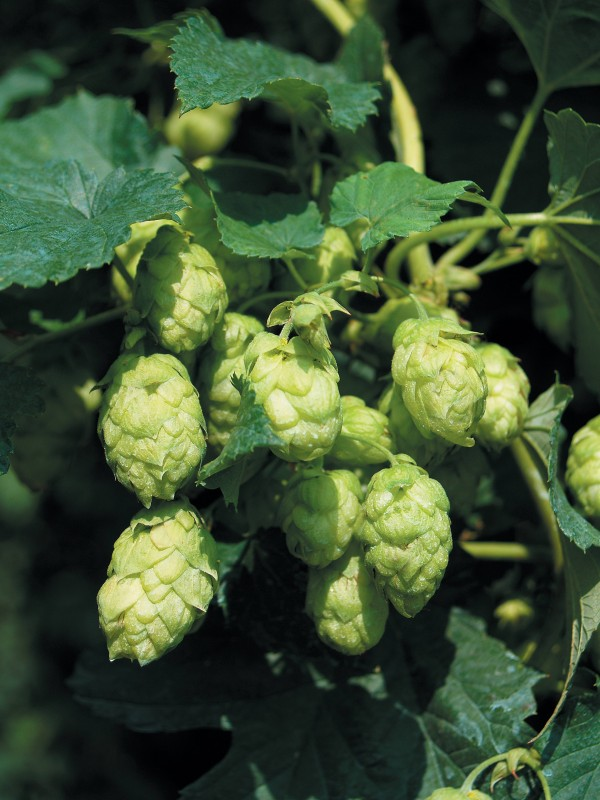 Hops from Žatec